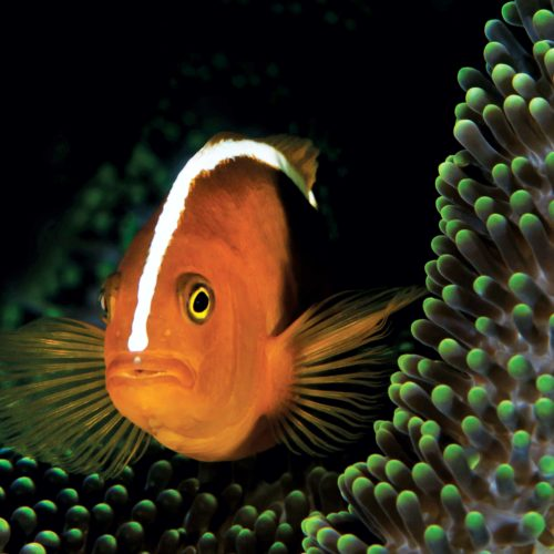 clown fish green coral