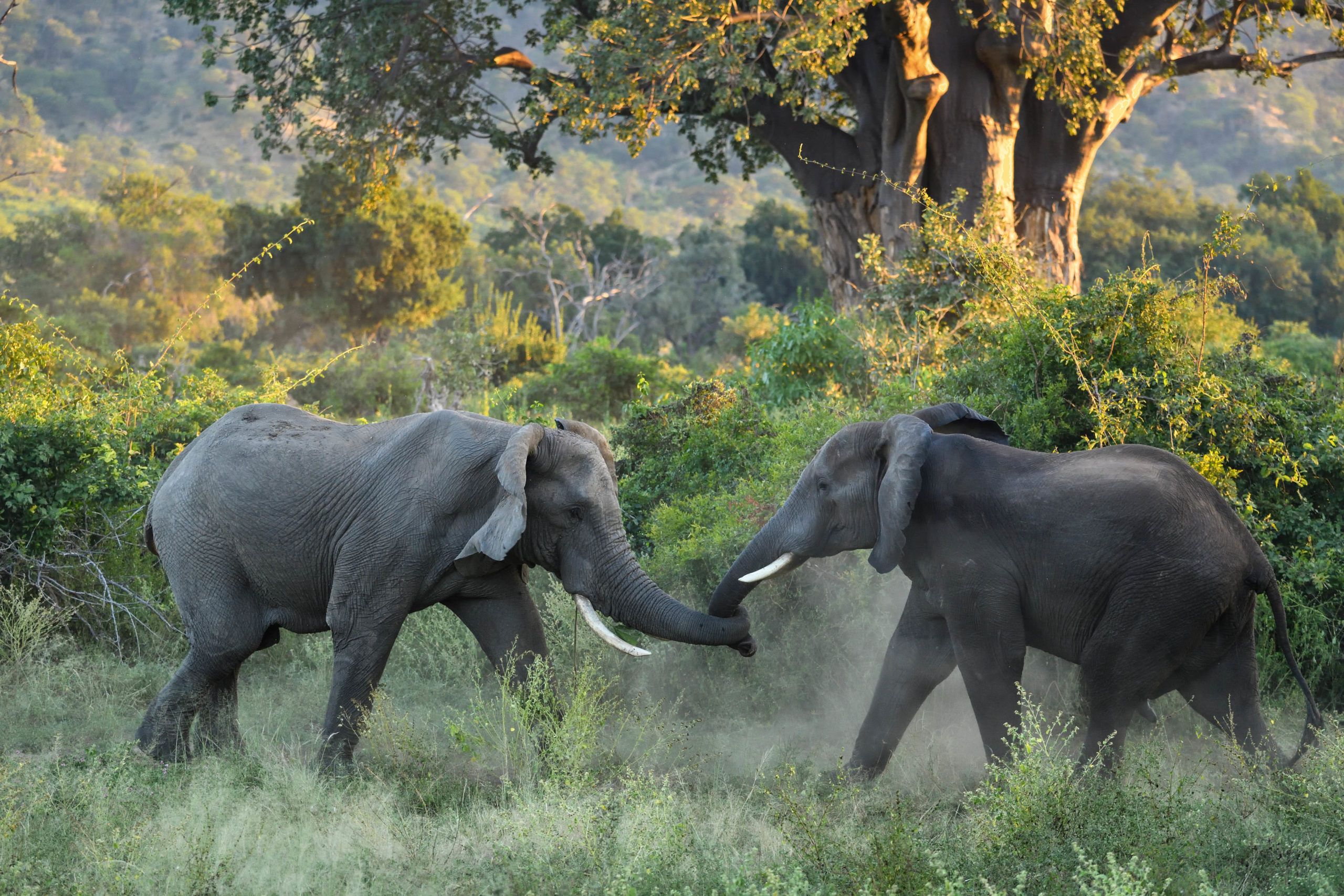 african elephants playing in dust