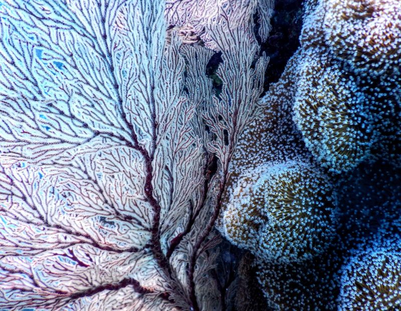 indonesia softa coral close up