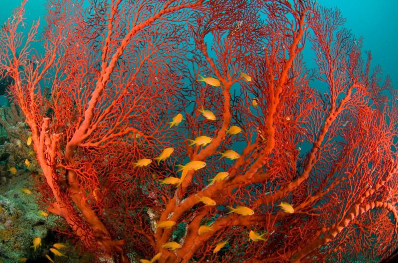 red coral reefscape orange fish