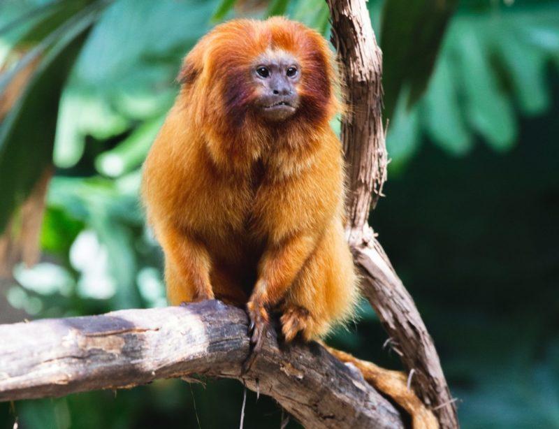 rwanda golden monkey primate conservation