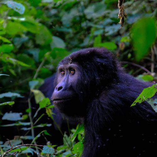 uganda endangered mountain gorilla