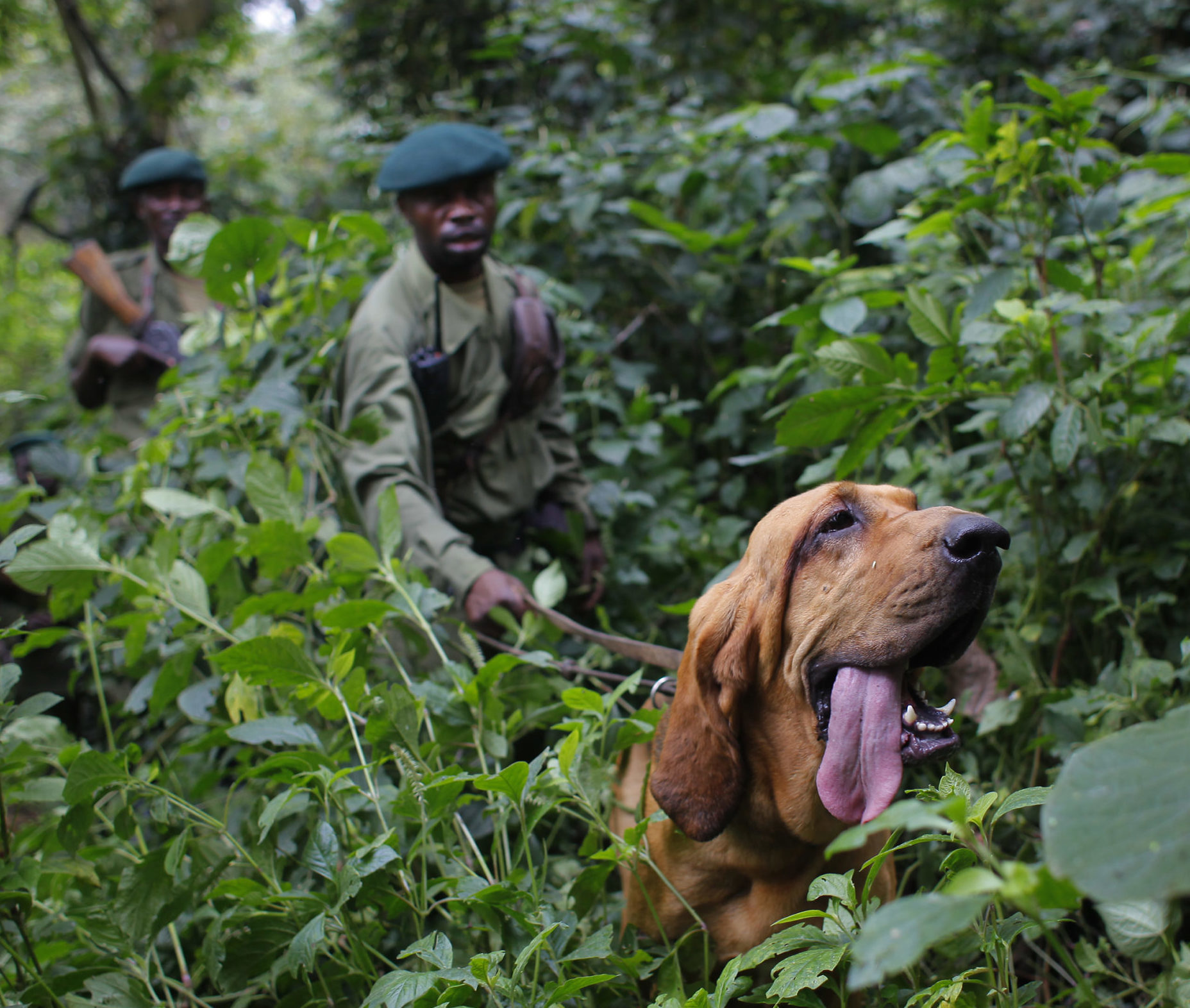 virunga national park rangers dog