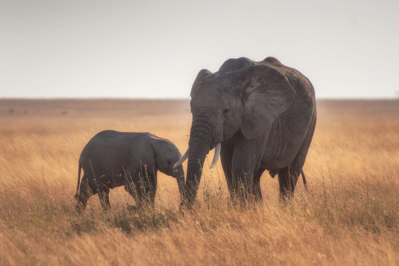 foundation african elephant calf conservation