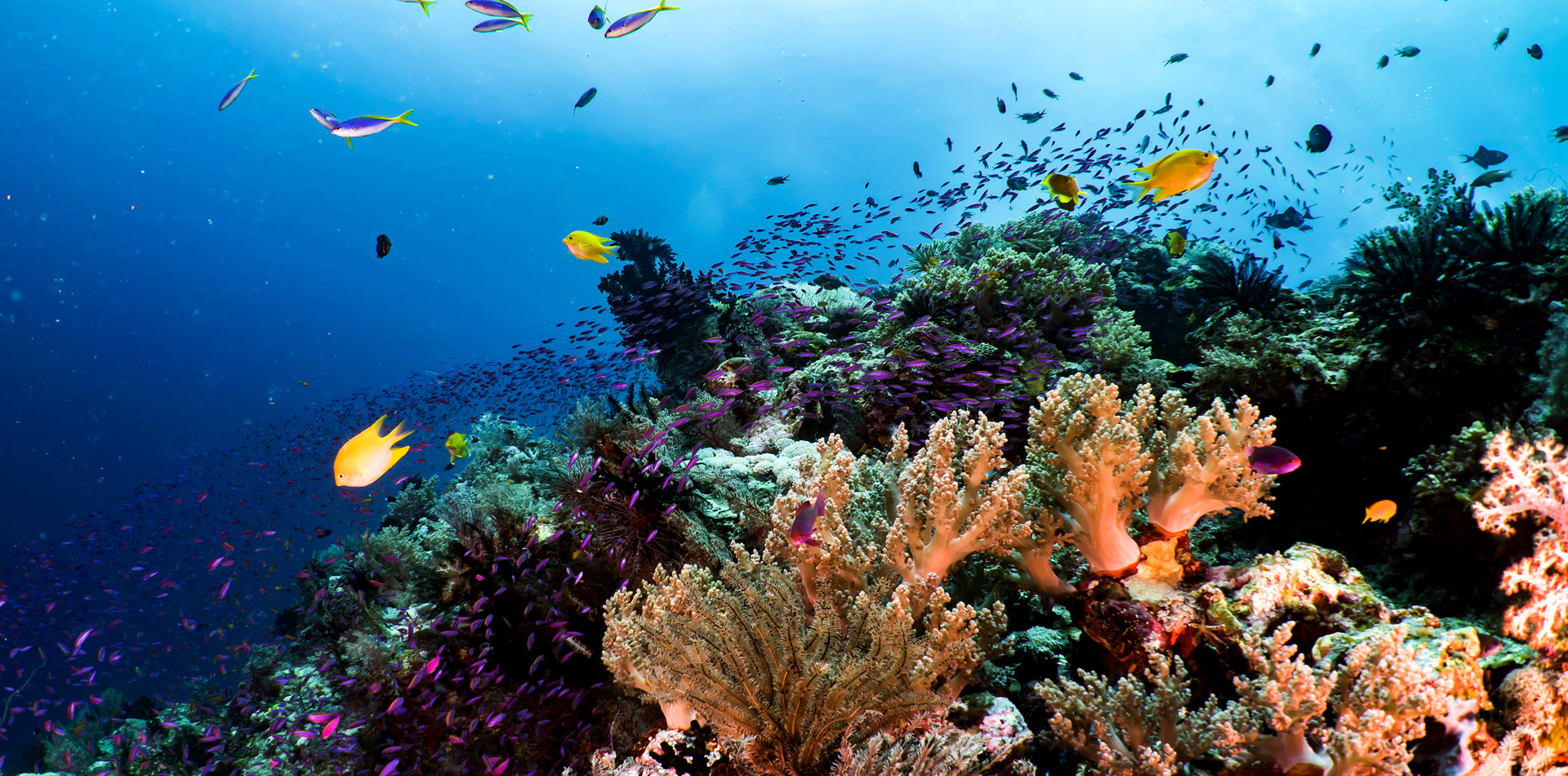 underwater colourful coral fish shoals