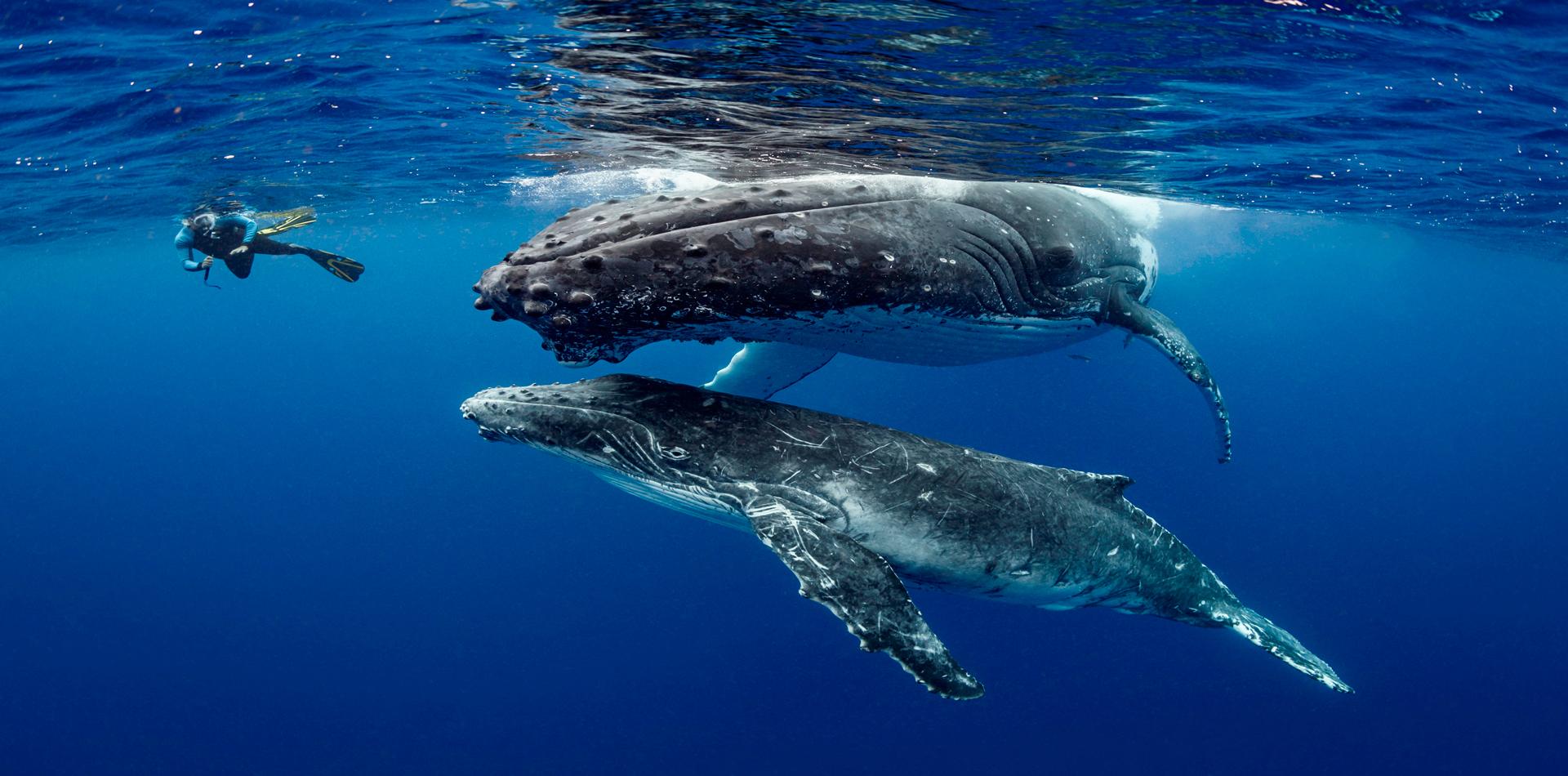 humpback whales snorkelling underwater