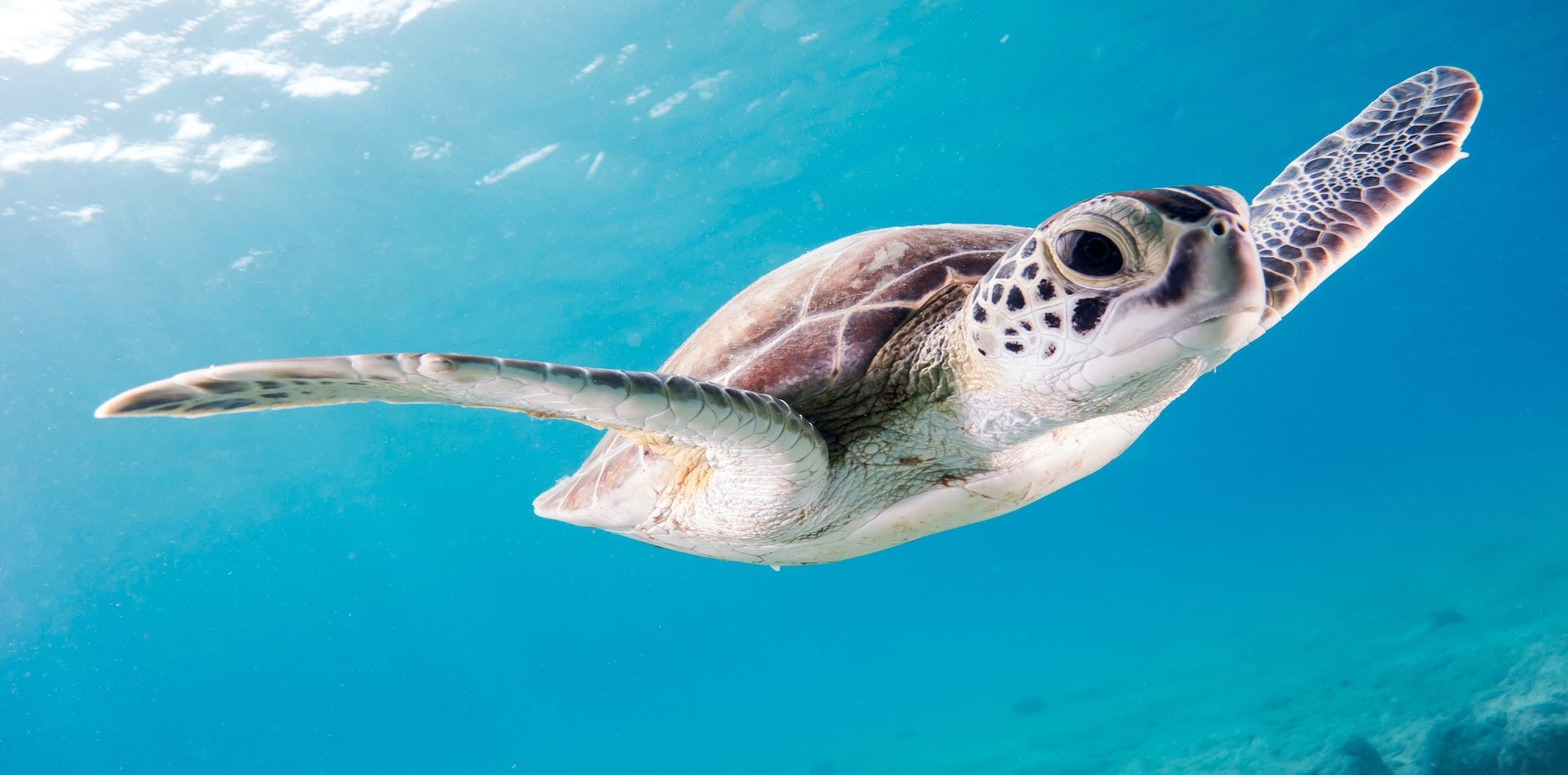 sea turtle swimming underwater pelorus foundation