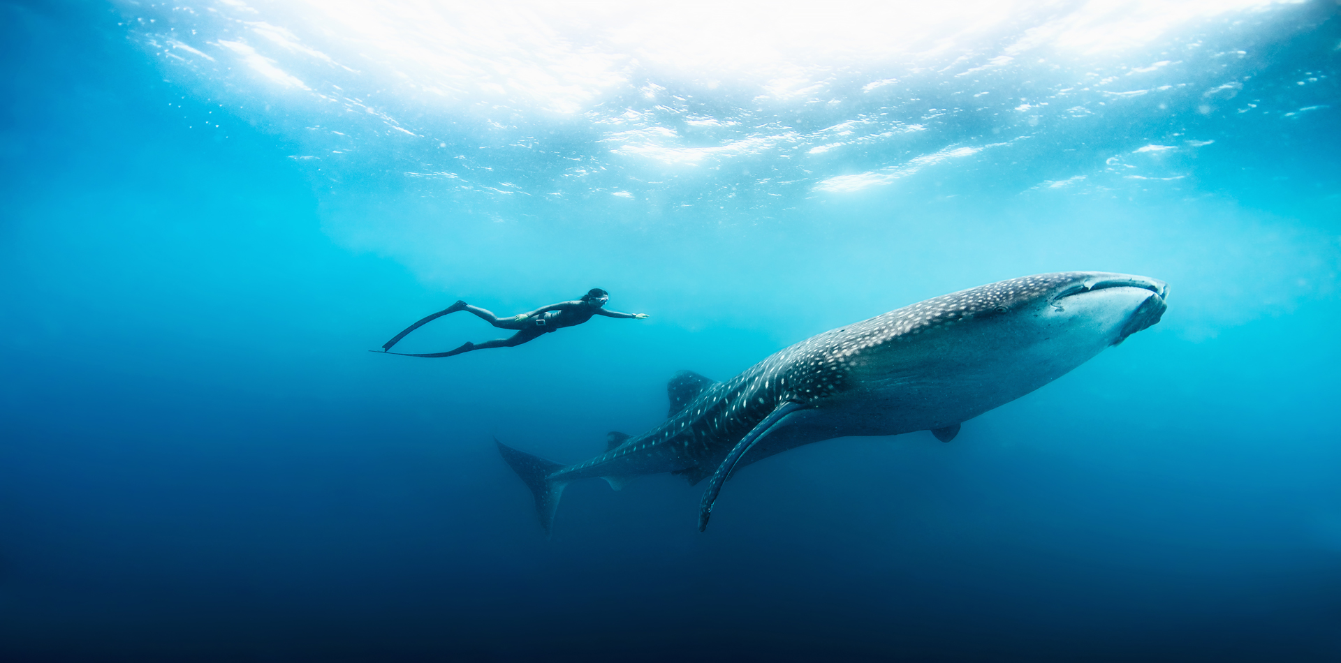 whale shark diving underwater free diver