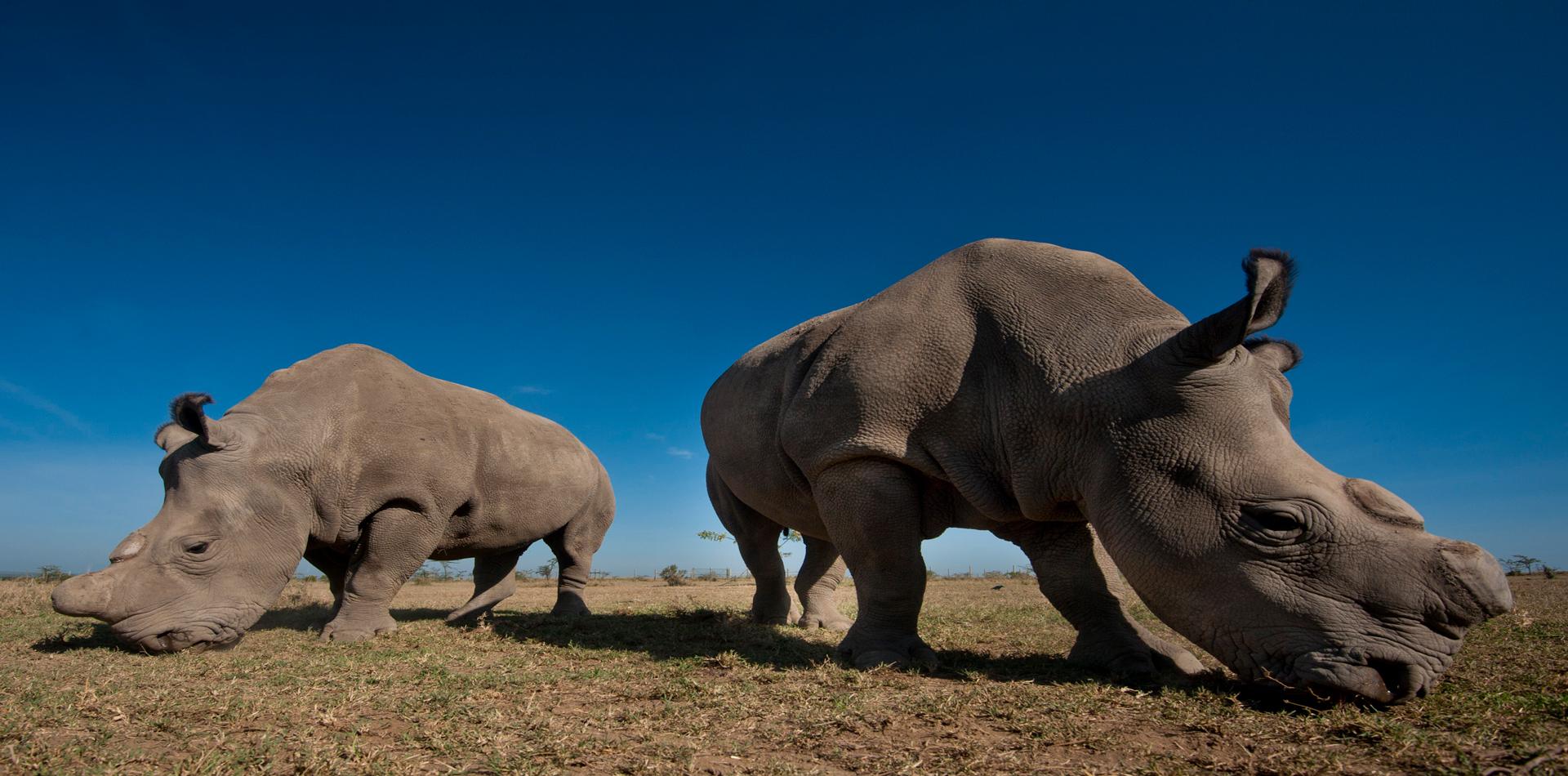 rhino conservation olpejeta conservancy