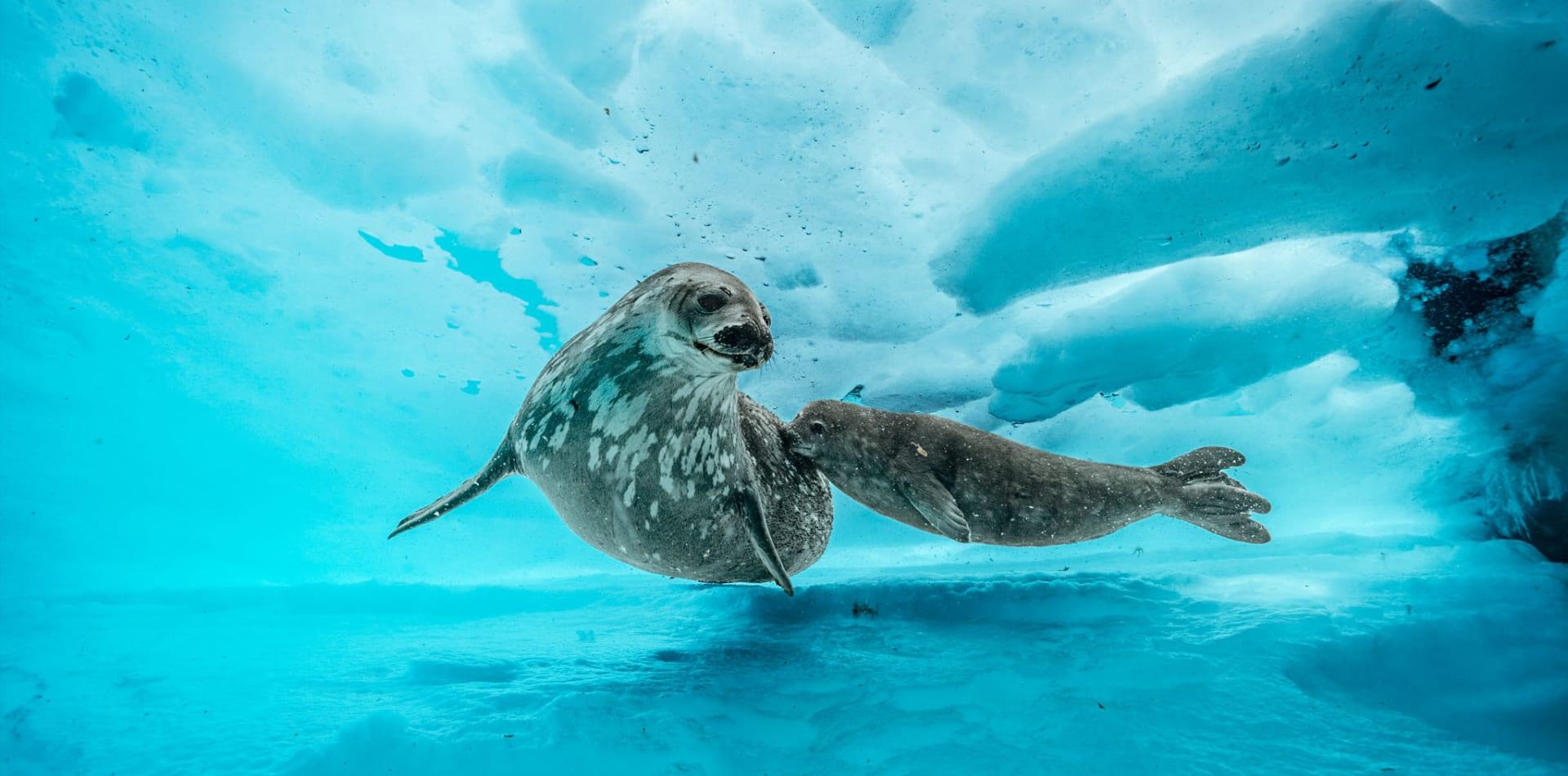 antarctica seals underwater