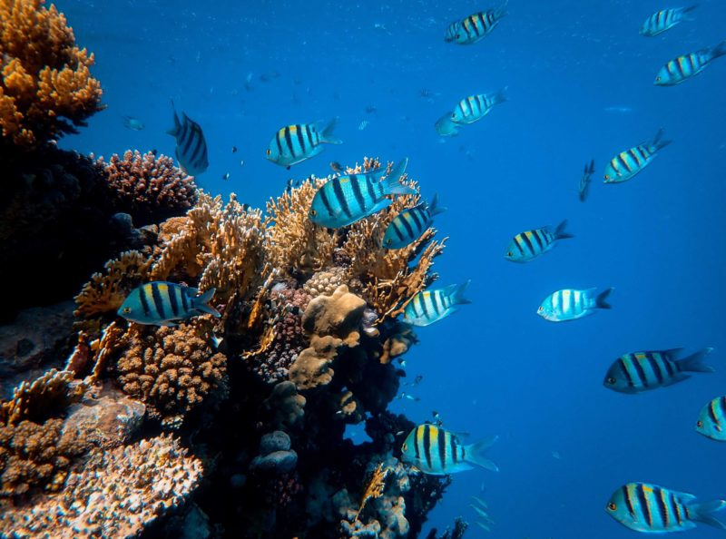 coral reef fish shoal