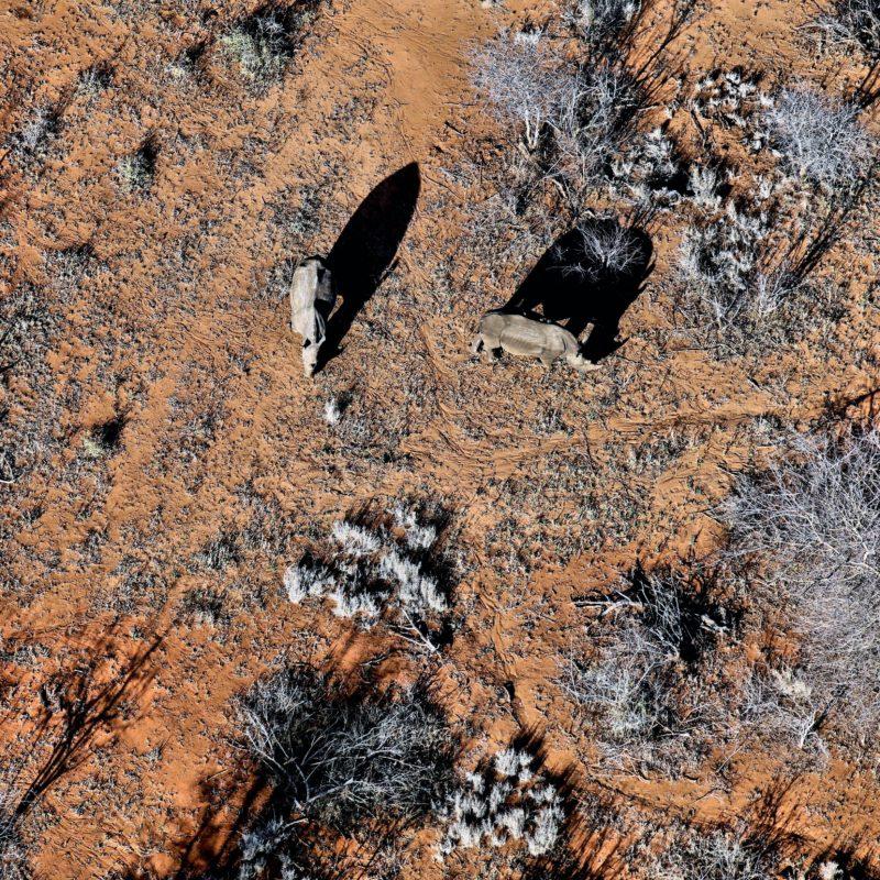aerial view of rhinos