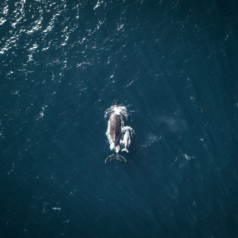 aerial view whales swimming