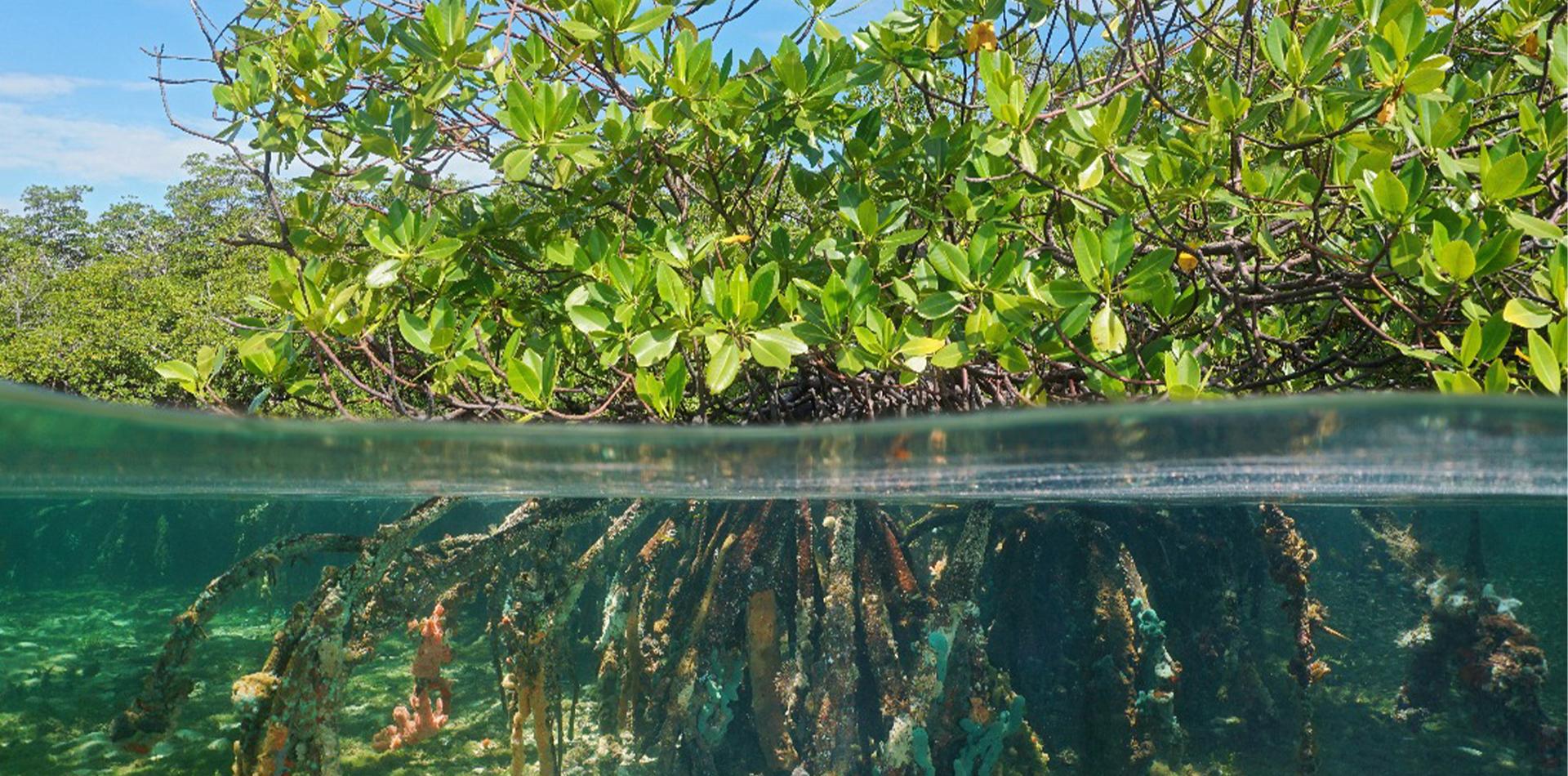 underwater mangrove forest