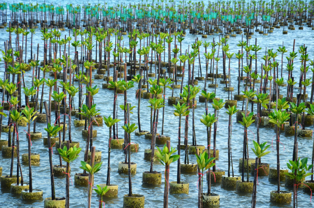 thailand seedlings mangrove restoration forest project
