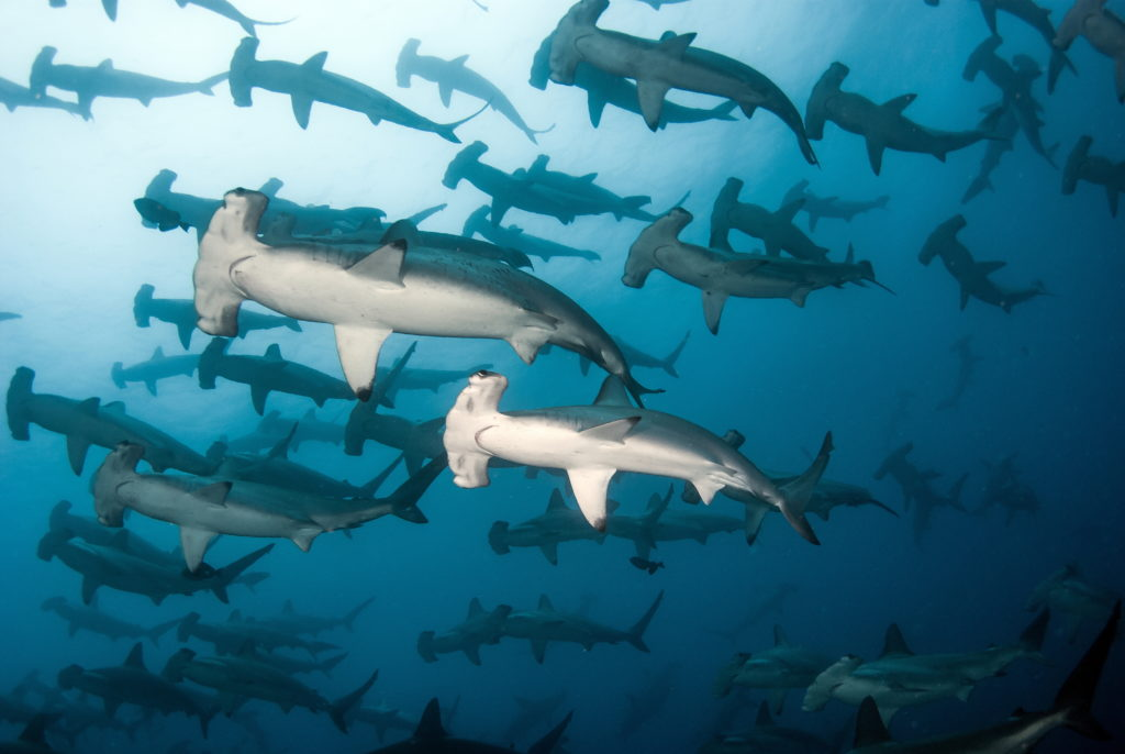 galapagos islands hammerhead ecuador schooling aggregation