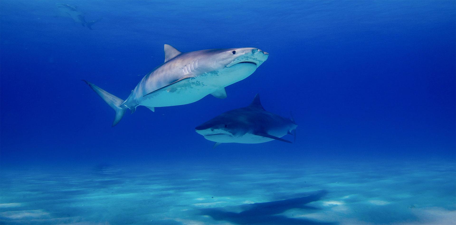 french polynesia tiger shark hero