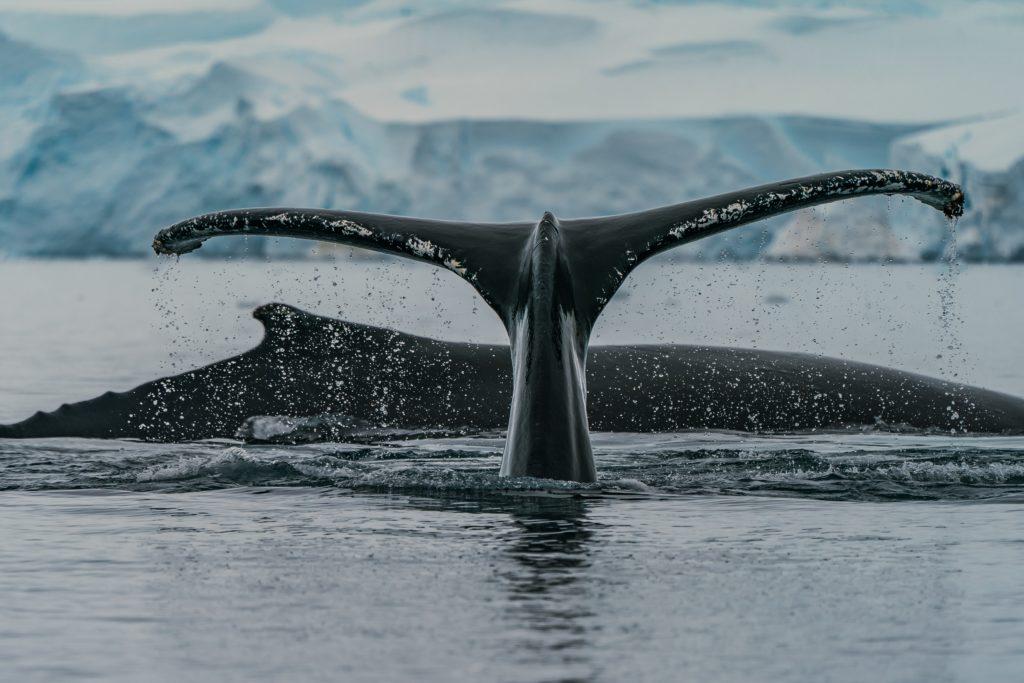 tail whale humpback Antartica feeding