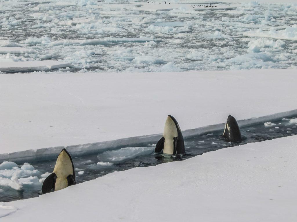 breaching mcmurdo ice orcas station antarctica