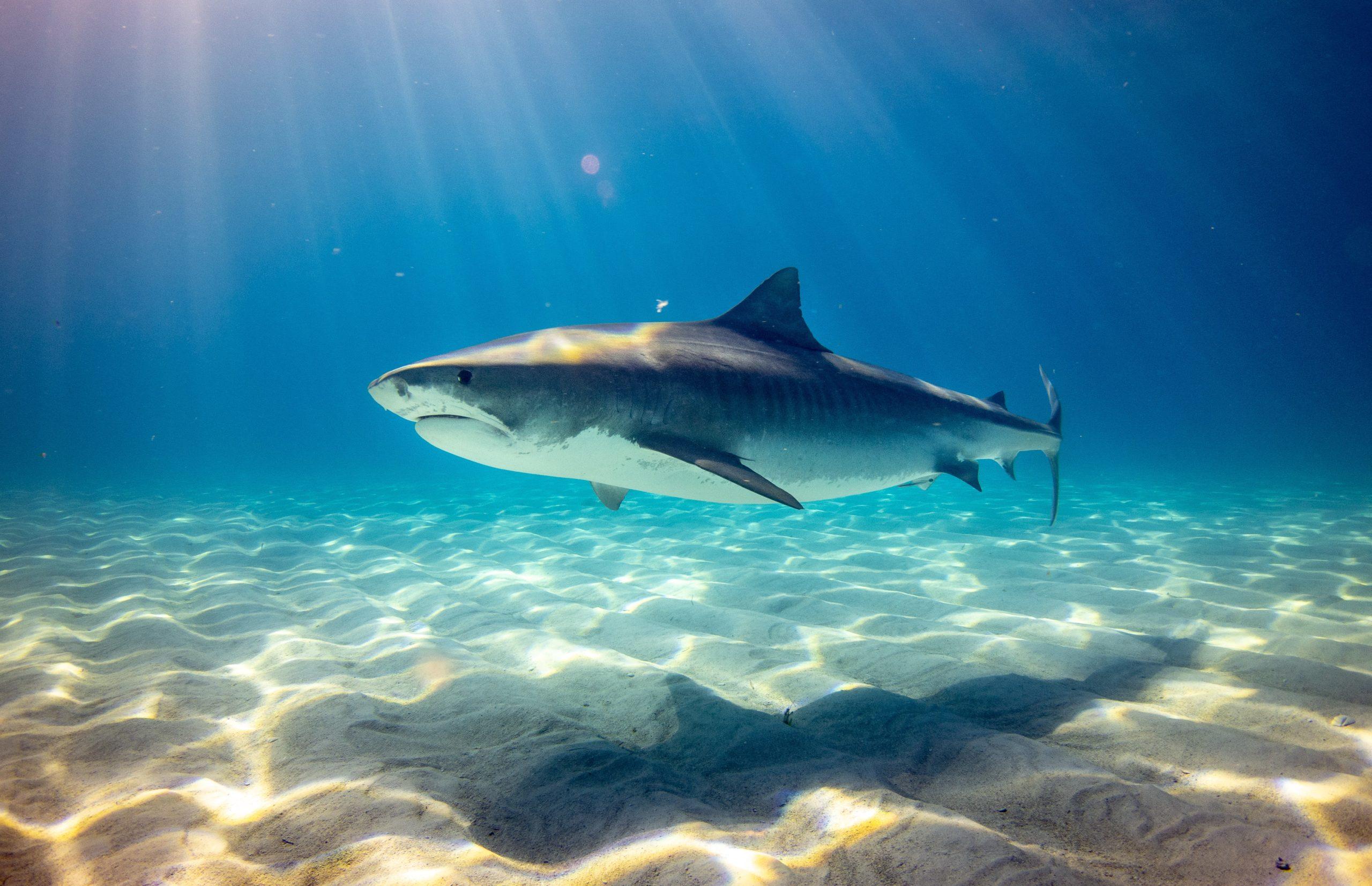 tiger underwater bahama caribbean grand shark