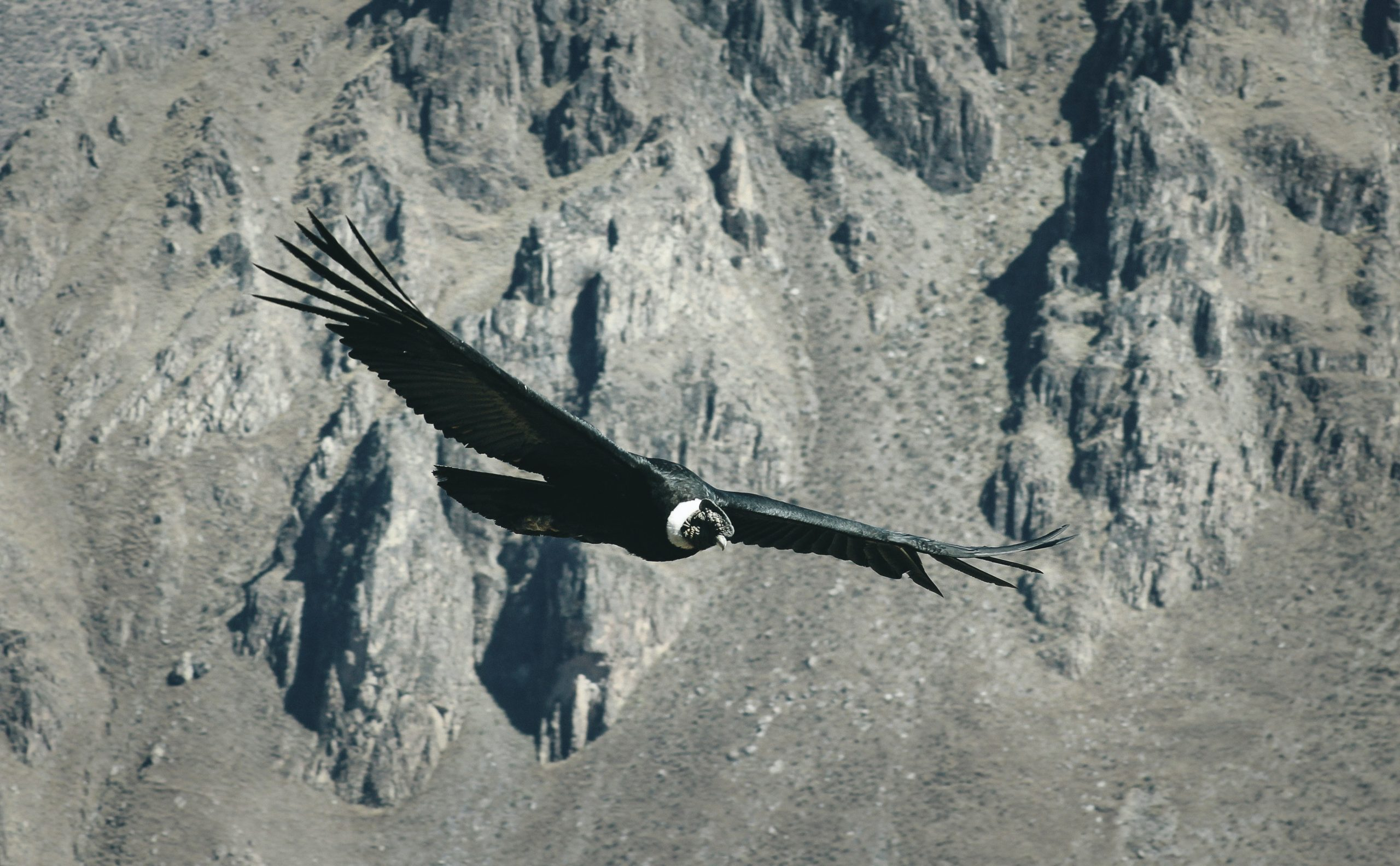 peru colca condor flight canyon