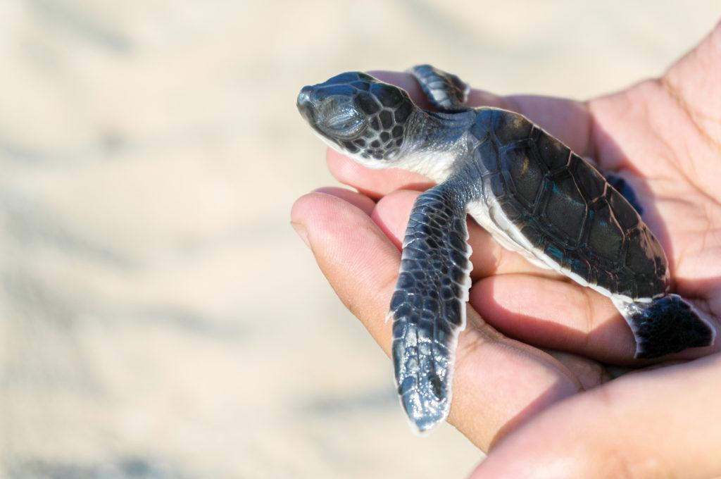 sea turtle hatchling wa ale resort myanmar