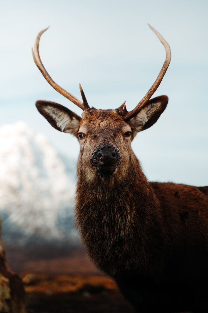 uk scotland stag portrait