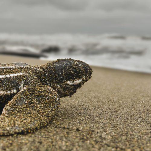 hatchling sea turtle costa rica