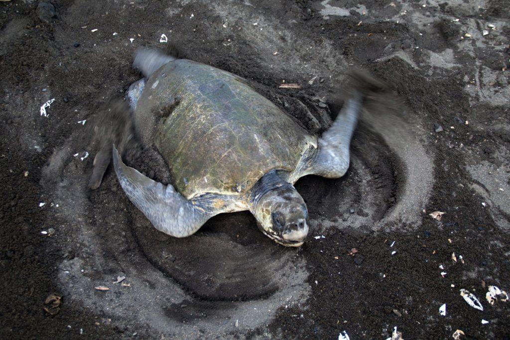 sea turtle nesting costa rica