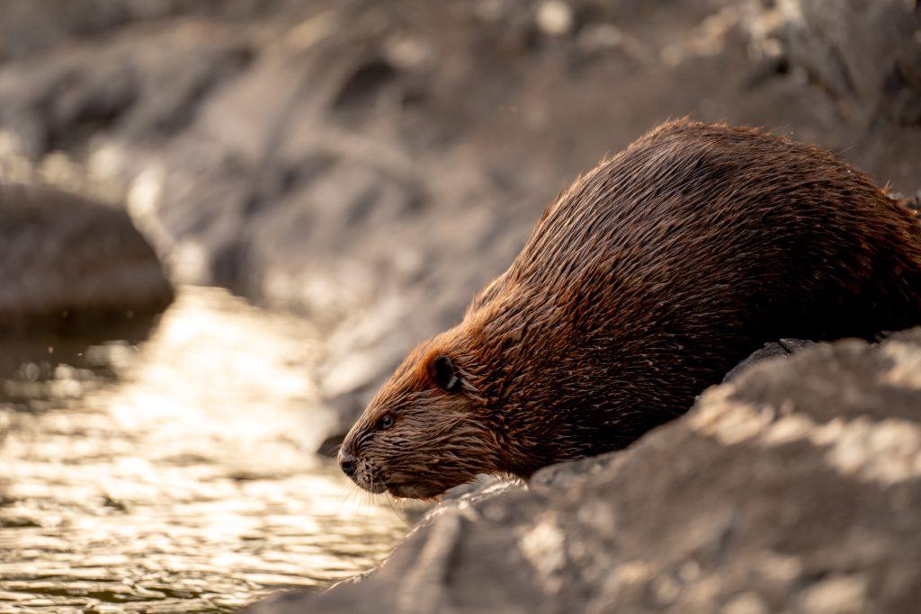 Voyageurs beaver Kabetogama water USA National