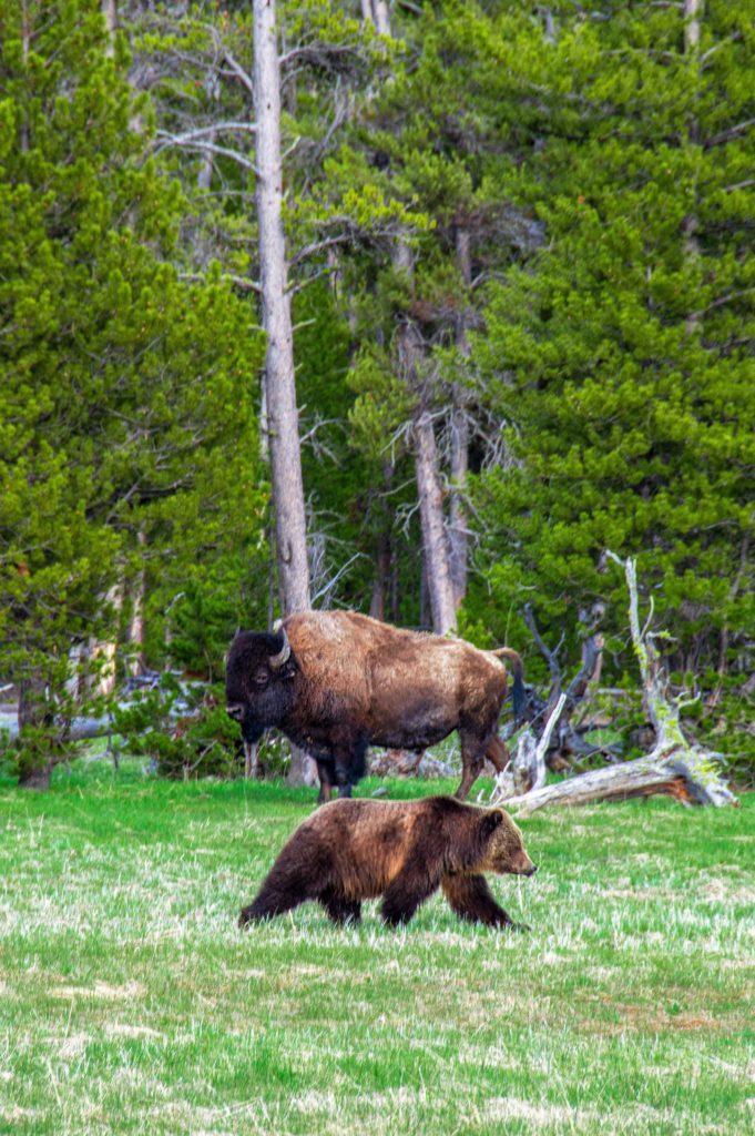 trees buffalo National bear Yellowstone Park