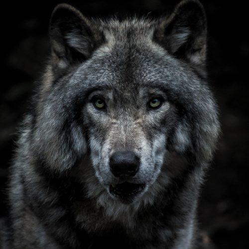 Canada wolf Montreal headshot Quebec