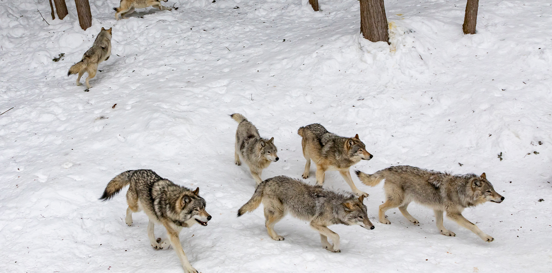 snowy forest wolf pack